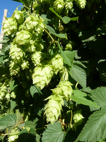 Hops flowers on the vine