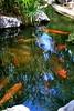 A Koi Way To Keep Cool (Chic Bee) Tags: summer arizona fish hot pond colorful day bright tucson sunny american koi consumer govinda ongoldenpond minivacation twohour beautifulfish beautifulkoi newamericanconsumerstwohourminivacation govindapond