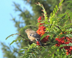 Domherreunge smakar rönnbär / The bullfinch nestling is tasting rowanberries (HJsfoto) Tags: autumn bullfinch höst 2010 boden potofgold rowanberries rönnbär northsweden domherre mywinners