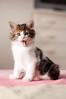Introducing Matisse (L e t i) Tags: cute cat puppy chat soft little sweet tiger version his matisse tones letizia petit micetto maccarini unamourdechat