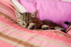 Introducing Romeo (L e t i) Tags: pink italy cat puppy chat italia romeo letizia sweety ronf micino maccarini