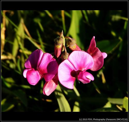 Sweet Pea flower (Lathyrus odoratus)