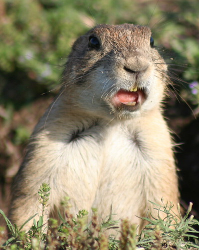 Kansas Prairie Dog