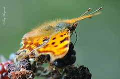 The Comma Butterfly and the Blackberries (Tony Margiocchi (Snapperz)) Tags: macro butterfly nikon wildlife micro nikkor comma micronikkor commabutterfly tc17eii 105mmf28gvrmicro nikkor105mmf28gvrmicro ©tonymargiocchi nikond300s