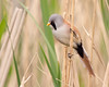Beardy pose (Andrew Haynes Wildlife Images) Tags: bird nature wildlife norfolk nwt beardedtit cleymarsh canon7d ajh2008