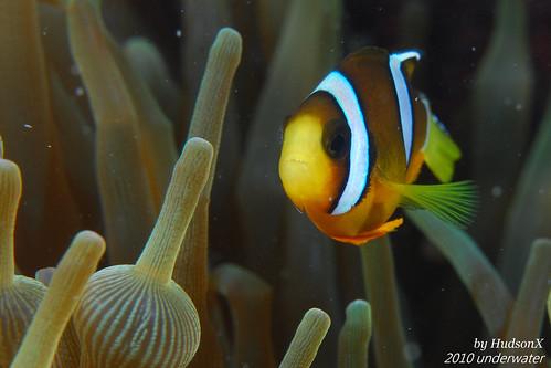 小丑魚(1)