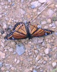 Summer's End: Viceroy Butterfly