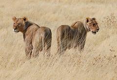 Lions, Etosha
