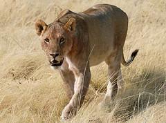 Lioness Stalking 2, Etosha