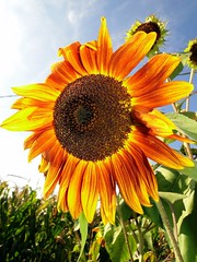 Sunflower! (modestino68) Tags: flower verde green yellow giallo sunflower fiore girasole paulweller