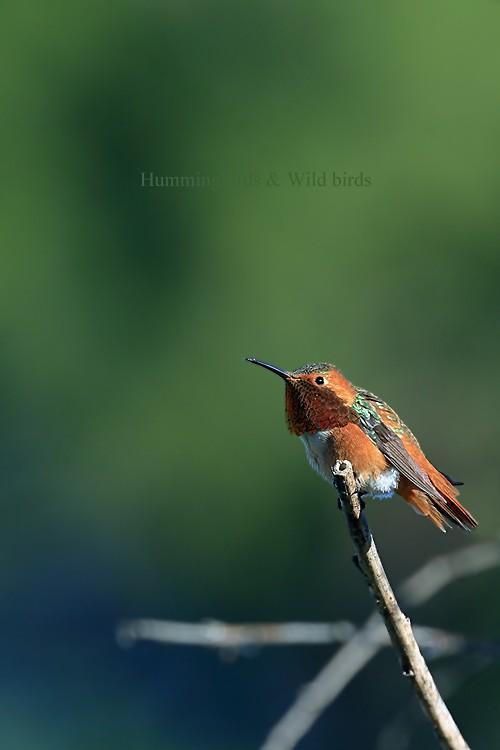 Allen's Hummingbird 02101-2