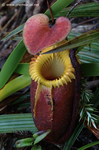 Nepenthes - Pitcher plant