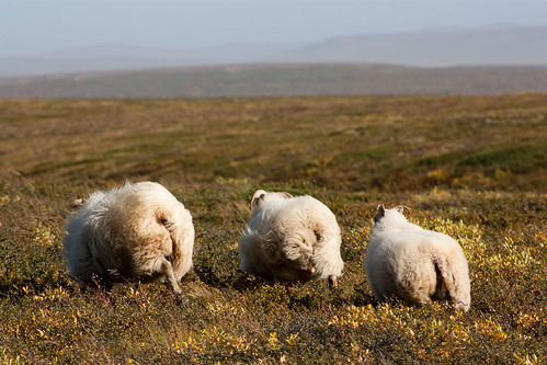 sheep booking it