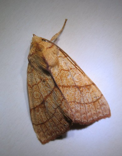 Orange Sallow