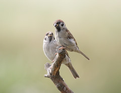 But Dad..I'm scared ! (bojangles_1953) Tags: birds yorkshire treesparrow fairburn banon nbw canoneos1000d