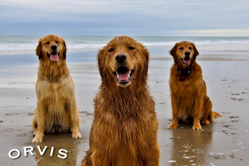 Orvis Cover Dog Contest - Milly, Maddie, and Piper