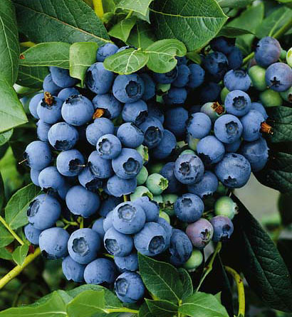 Powderblue Rabbiteye Blueberry Variety Extension