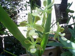 S5025828 (nilgazzola) Tags: orchids orquideas nilgazzola orquideasfloraçãosetembro2010