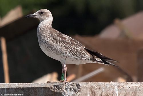 Caspian Gull, 1cy, G[XTAV]