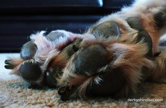 Letting sleeping dogs lie. (Philip Dolby Photography) Tags: collie bordercollie sleepingdog colliecross dogpaws dogfeet sleepingcollie bordercolliecross derbyshirelost colliebitch bordercolliebitch philipdolbyphotography