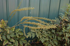 "Black Cohosh <a style=""margin-left:10px; font-size:0.8em;"" href=""http://www.flickr.com/photos/91915217@N00/4997794962/"" target=""_blank"">@flickr</a>"