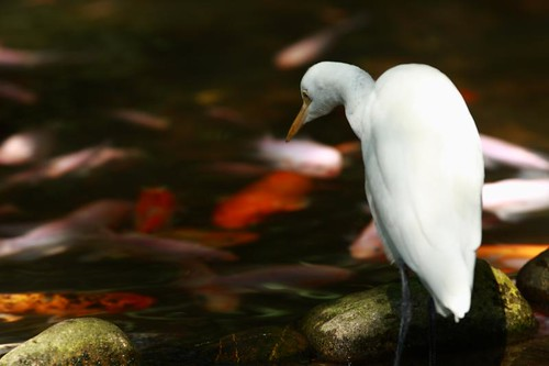 Graceful Egret