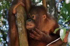 orangutan 2 (julianleach) Tags: baby wildlife borneo orangutan sanctuary rehabilitation rasaria