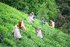 Tea Pickers In Wayanad (Steenbergs) Tags: india tea kerala wayanad teaplantation teapicking teapickers indiantea