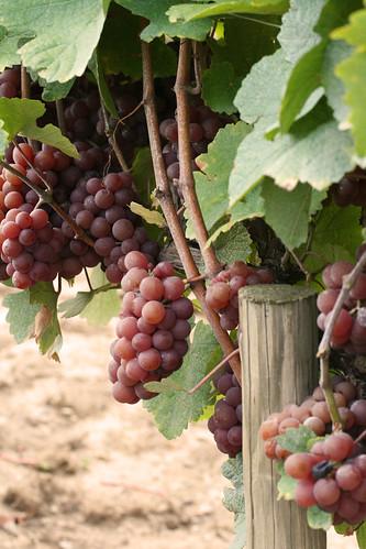 Grapes (Niagara-on-the-Lake, Sept 2010)