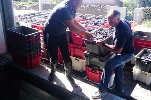 2010 harvest grapes arriving to Quevedo winery