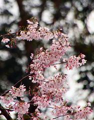 Cherry Stairs (Avesh Vather) Tags: pink tree bird eye nature canon cherry spring blossom north palmerston sakura wax cherrytree 50d