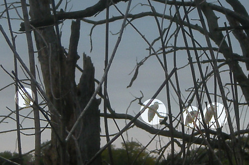 Four Herons in a Tree
