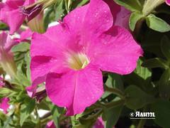 F-15 (ah33l) Tags: flowers pakistan flower macro islamabad gardenavenue