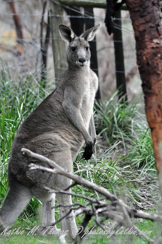 Eastern Grey Male Kangaroo