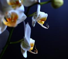 dragon tongues (Janine Graf) Tags: flowers orange white canon orchids bokeh phalaenopsis blooms onblack 5dmarkii janine1968