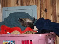 Mandua in the clothes basket