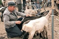 Looking Your Best (**El-Len**) Tags: sheep market xinjiang kashgar bazaar livestock kashi eastturkistan chineseturkestan