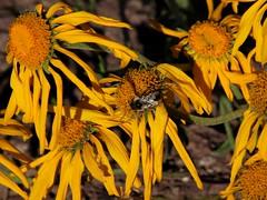 Wild Flowers (saxonfenken) Tags: flowers yellow colorado bee wildflowers thumbsup aspen storybook maroonbells 6957 storybookwinner pregamewinner usaday2e510 friendlychallengessweep withereddecayeddecaying 6957flowers