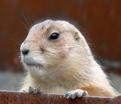Prairie Dog posing for flickr. (Eisgrfin (very busy)) Tags: portrait nature animal prriehund blacktailedprairiedog flickrbronzeaward eisgrfin mygearandmepremium mygearandme1 mygearandme2