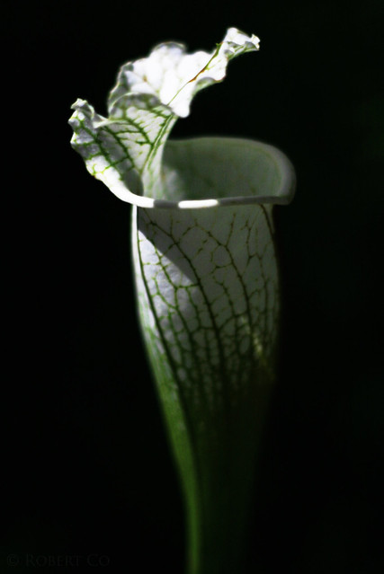 Sarracenia at night