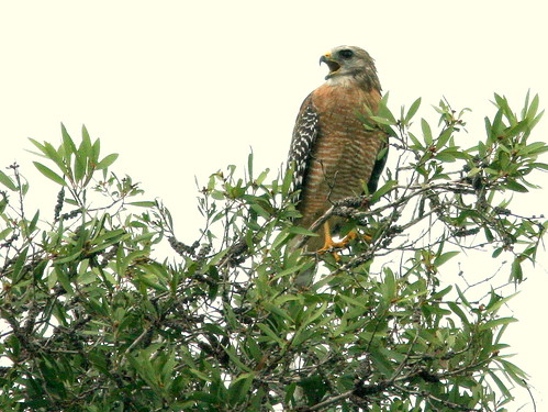 Red-shouldered Hawk 2-20100925