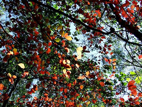 autumn foliage on black gum (Nyssa sylvatica)