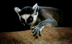 untitled (ssj_george) Tags: park portrait tree animal canon lens mammal eos rebel grey zoo monkey is kiss gray cyprus f lemur xs efs f456 55250 peyia birdandanimalpark 55250mm κύπροσ georgestavrinos 1000d πέγεια ssjgeorge γιώργοσσταυρινόσ