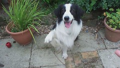 A Few Tricks :) (meg price) Tags: dog collie play border treat trick bordercollie barney clickertraining ohhidontlikehearingmyvoiceoncameraitsverystrange nearlybitngmyfingeroffafewtimeshere hesnormallyprettygentlehonest