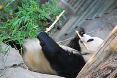 bamboozled panda girl ;-)