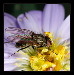 Tiny Fly on a Purple Aster Flower (Moneycue) Tags: autumn flower macro nature closeup bug insect rainbow purple aster herfstaster canonmpe65