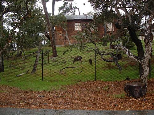 Deers at Pacific Grove