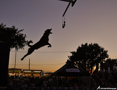 239 Rocket (The_Little_GSP) Tags: dog dogs pool jump dock pennsylvania fair rocket splash malinois bloomsburgfair flyingdog bloomsburg belgianmalinois dockdogs extremevertical littlegspphotography