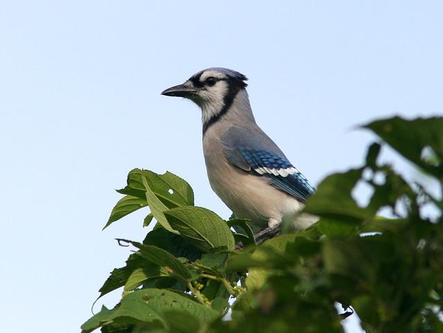 Blue Jay 20100930