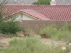 Coyotes at Church